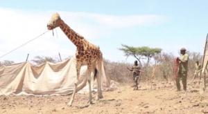 El emotivo rescate de 2 jirafas atrapadas en isla
